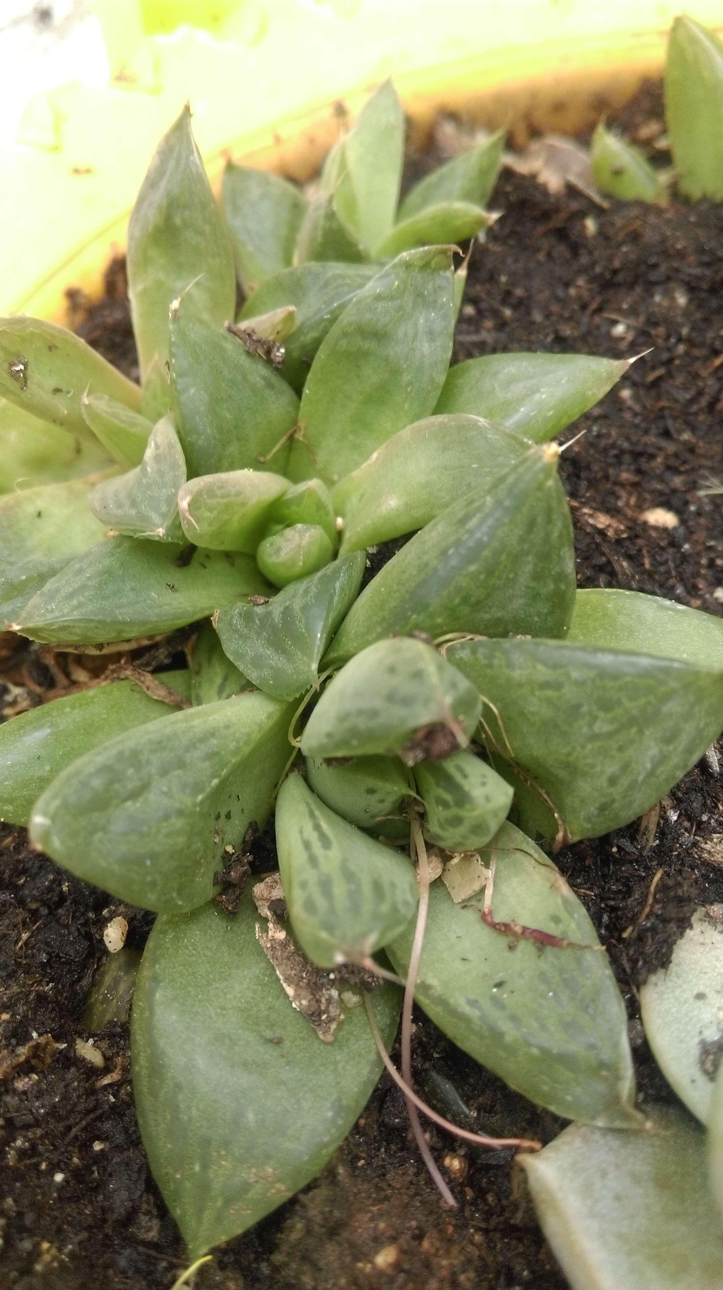 Curaci n de los cactus y otras plantas suculentas for Kalanchoe cura