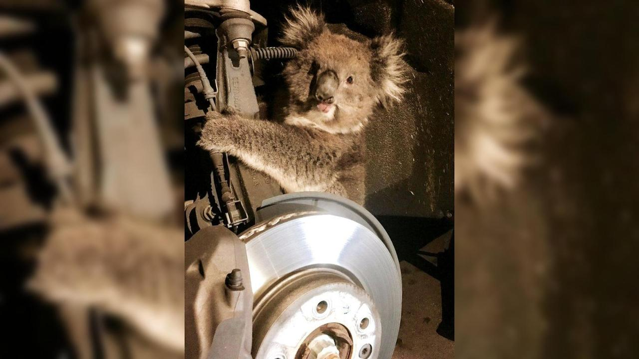 Koala In Car Suspension