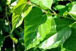 Chữa trị mụn với lá cây nhanh chóng