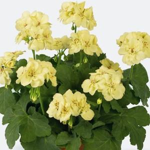 busco geranios con flores amarillas me gustara tener dnde. Black Bedroom Furniture Sets. Home Design Ideas