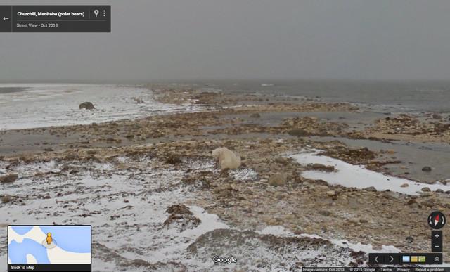 Oso polar en la Bahía de Hudson, esperando a que el hielo marino se congele nuevamente.
