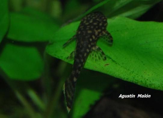 Reproducci n del ancistrus sp r o paraguay - Reproduccion del bambu ...