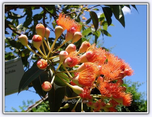 Okaliptus ağacının faydaları :