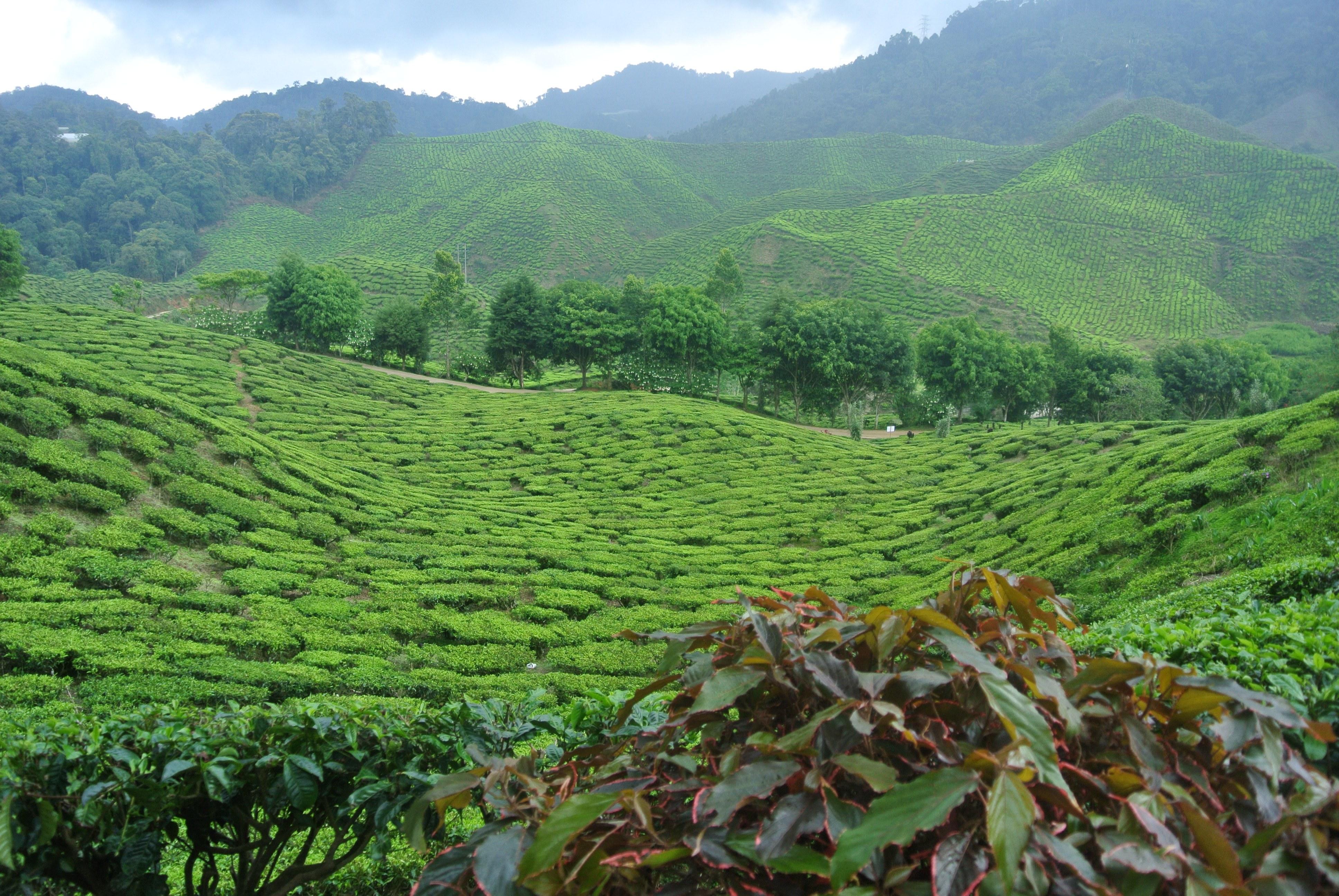 Tea Plantation, Cameron Highlands, Malaysia | Todd's Travels Travel Blog