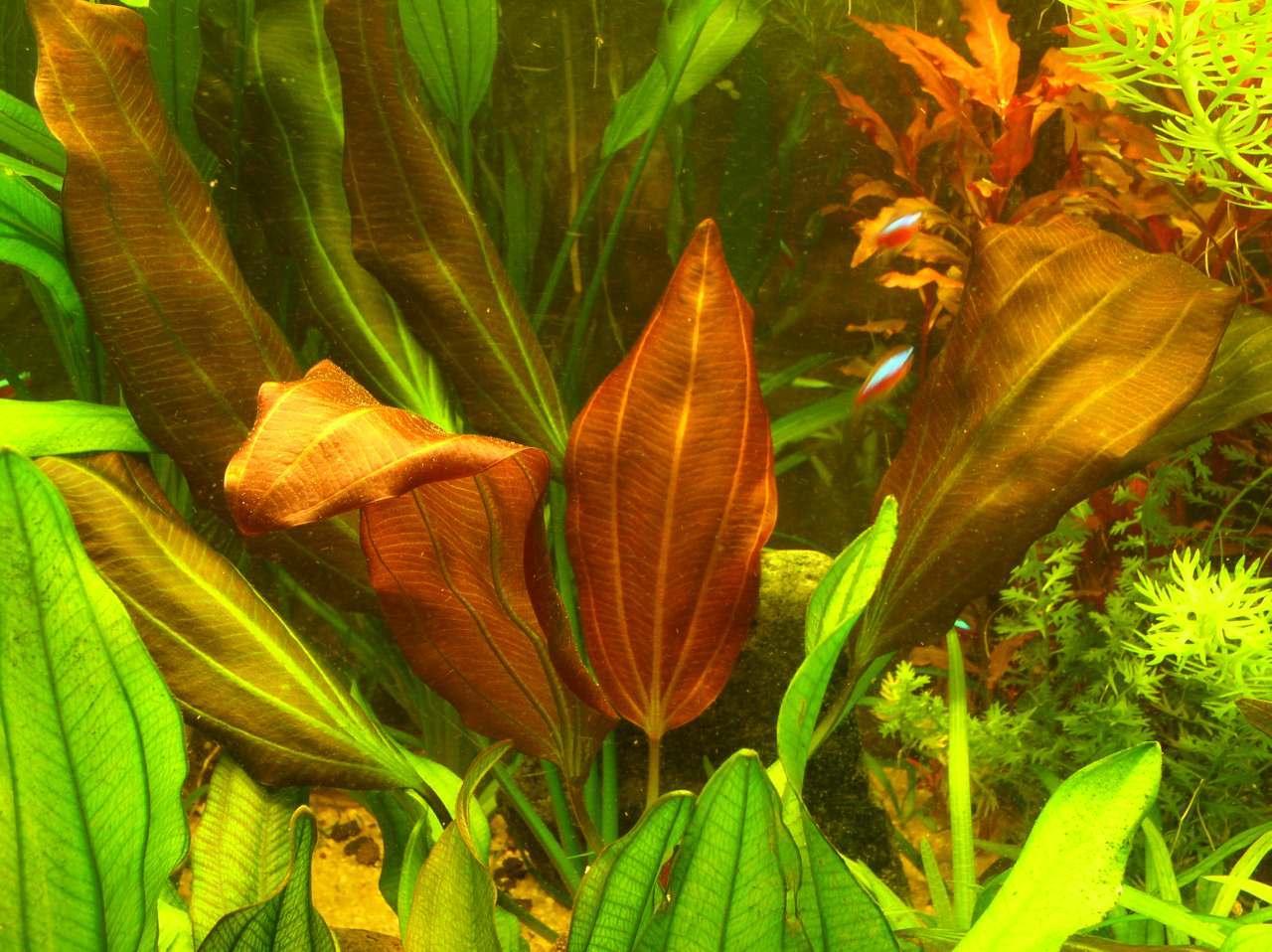 1 Big Huge Red Flame Sword Mother Plant Easy Aquarium Aquascaping Planted Tank Ebay