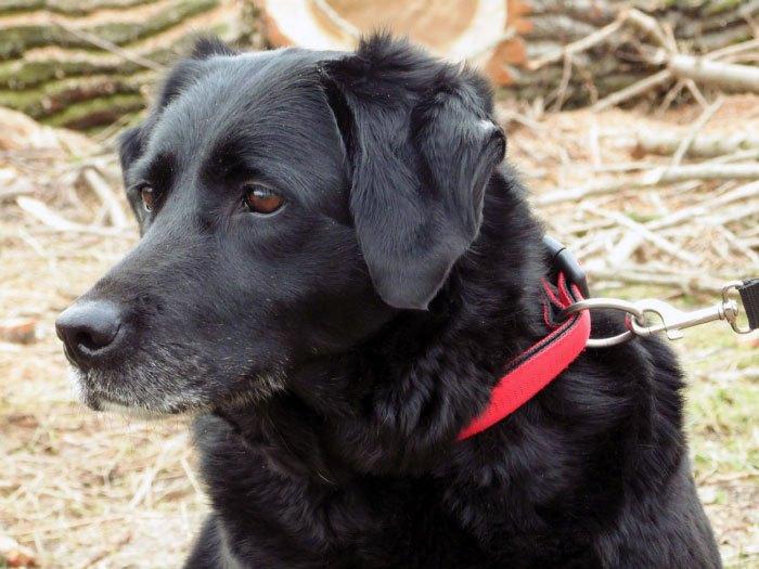 projekt prezent, labrador, do adopcji, dom tymczasowy, charytatywnie, lucky, labradory.org,
