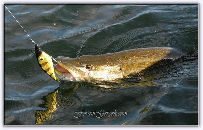 Balık balığı. Genel bilgi
