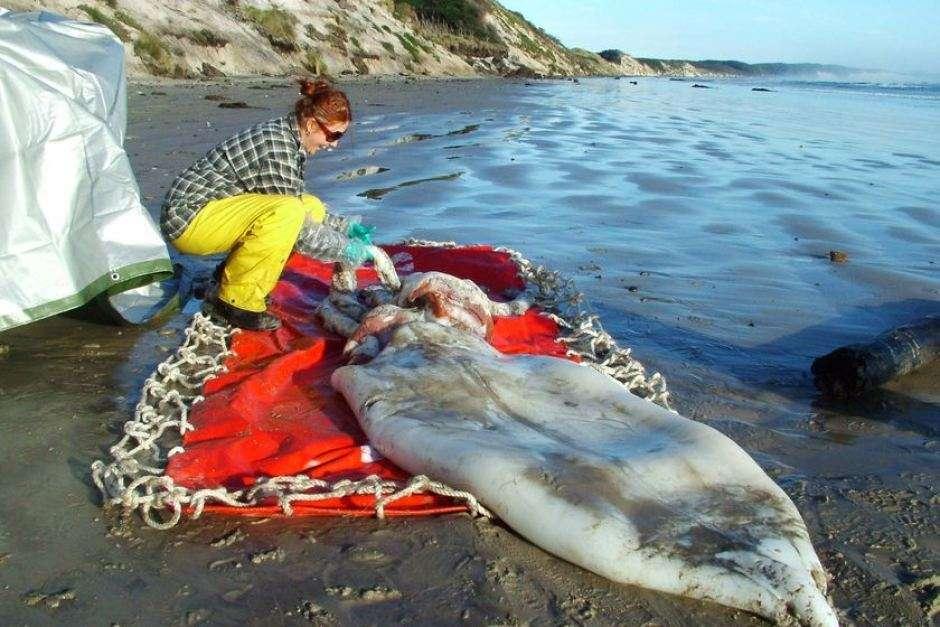 Calamar géant échoué en Australie en 2007
