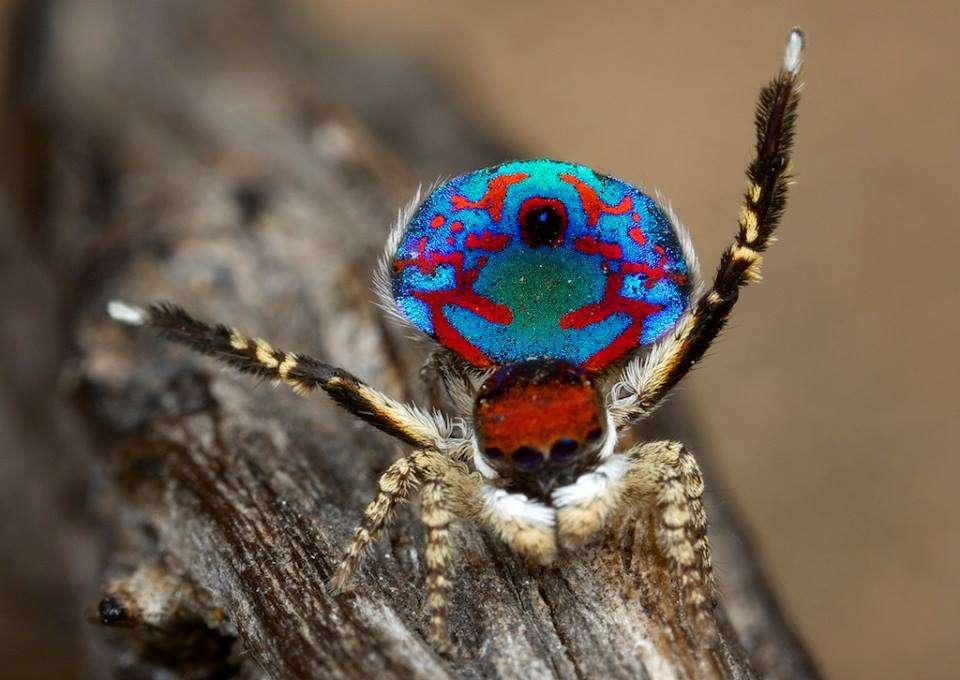 Danse nuptiale d'une araignée Maratus