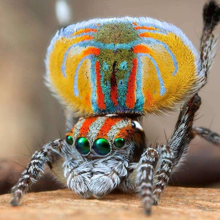 Araignée Maratus danse en Australie