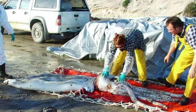 Calamar de 8 mètres échoué à Strahan