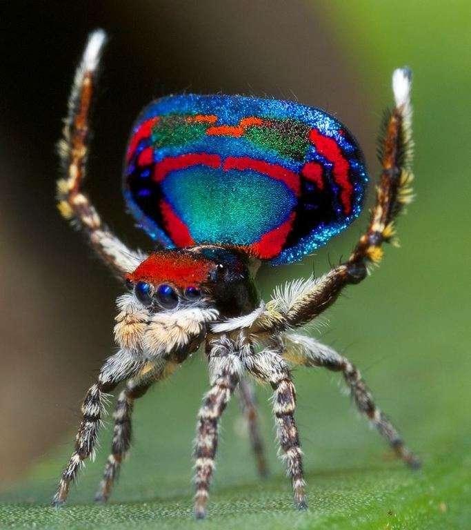 Araignée Maratus mâle colorée