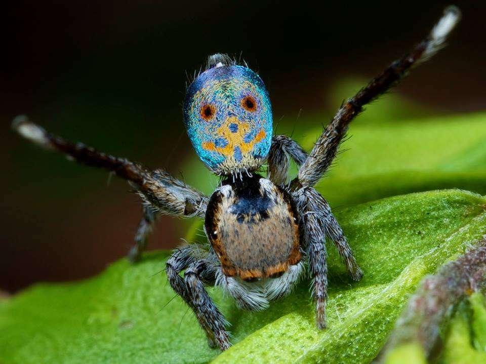 Parade nuptiale d'une araignée Maratus