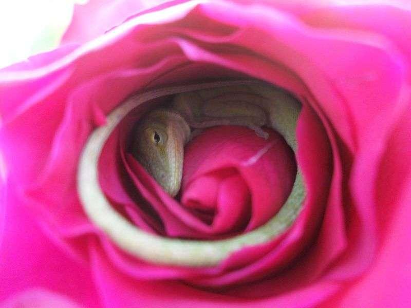 Un lézard blotti dans une rose ouvre un œil