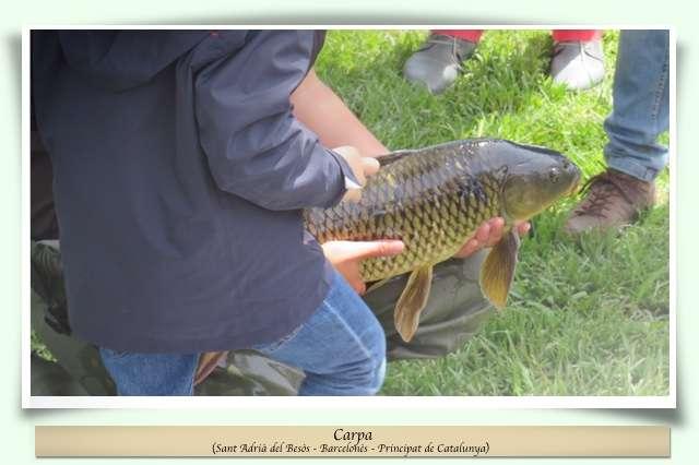 Peixos del riu Besòs
