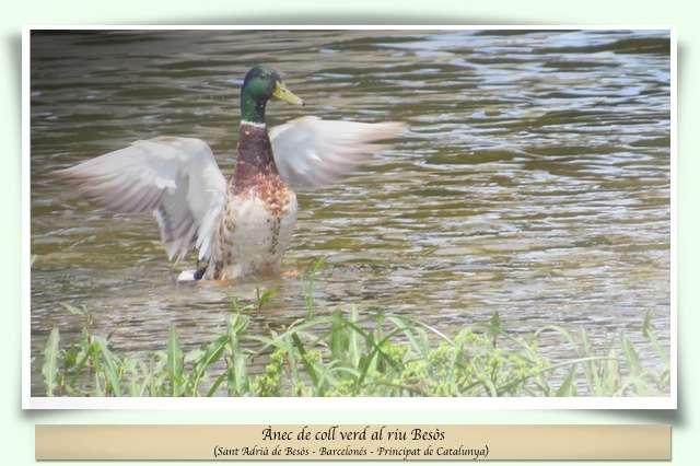 Ànec al riu Besòs